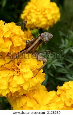 Praying mantis on Yellow Marigolds - stock photo