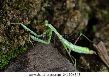 """Praying Mantis (Sphodromantis viridis) with a the typical """"prayer-like"""" posture with folded fore-limbs. They are ambush predators, but some species actively pursue their prey.  - stock photo"""