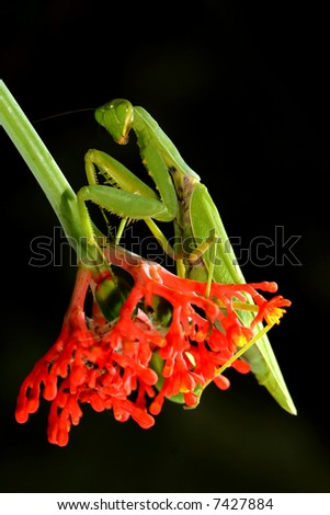 praying mantis with red flowers background - mantis religiosa