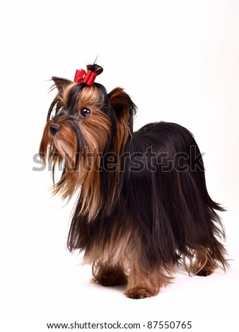 Precious long haired Yorkshire Terrier