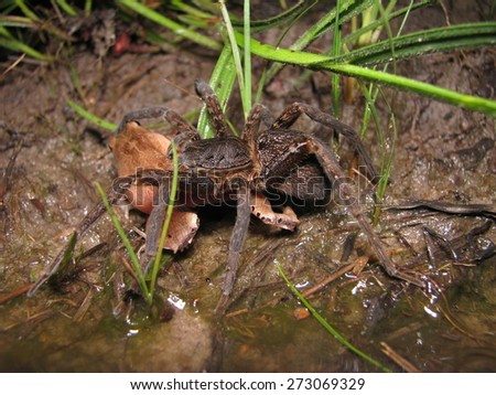 Predation of frog upon spider-wolf - stock photo