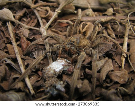 Predation of lizard upon spider-wolf - stock photo