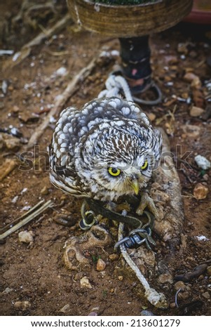 predator, cute little owl, gray and yellow beak and white feathers - stock photo