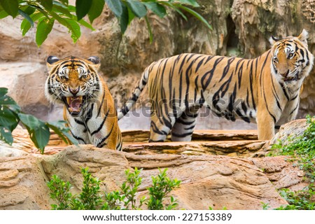 Predators, tigers - stock photo