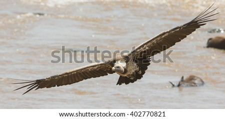 Predatory bird in flight. Kenya. Tanzania. Safari. East Africa.  - stock photo