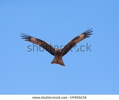 Predatory bird soaring in the blue sky, watching for its prey - stock photo
