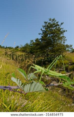 Predatory bush cricket (Saga pedo) in its natural habitat - stock photo