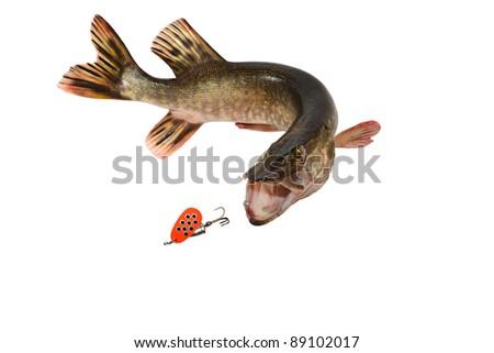 predatory river fish - stock photo