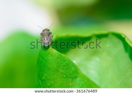 Predatory Stink Bug - stock photo