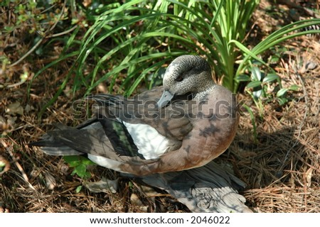 Preening American Widgeon - stock photo