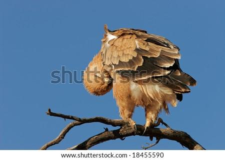 Preening tawny eagle (Aquila rapax) perched on a branch, Kalahari desert, South Africa - stock photo