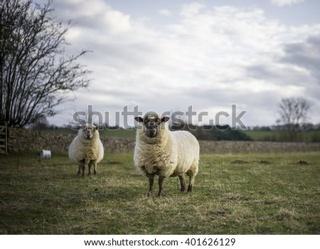 Pregant Ewe, Spring. Sheep in Cotswold Landscape