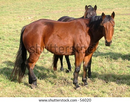 Pregnant bay quarter horse mare in the fall pasture - stock photo