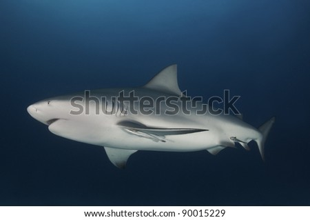 Pregnant bull shark cruising in dark blue water - stock photo