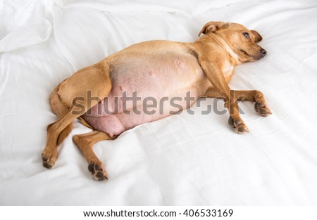 Pregnant Fawn Colored Terrier Mix Dog Relaxing on White Sheets - stock photo