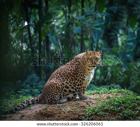 Pregnant jaguar female looks at camera with forest in the background - stock photo