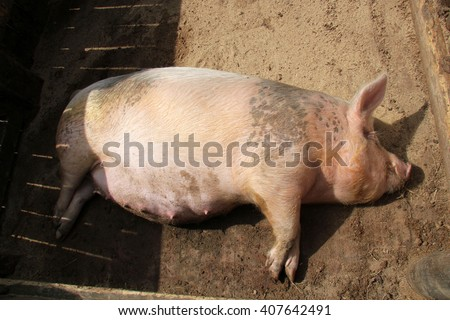 pregnant pig lying on the ground - stock photo