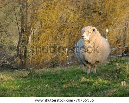 Pregnant sheep standing in the late afternoon sun