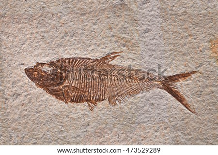 prehistoric fossil fish enclosed in stone rock