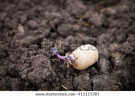 Prepared germinating potato in the planting process. Close Up