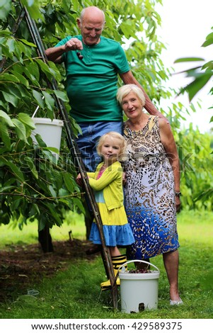 Preschool age grandchild with grandparents harvesting ripe sweet cherries in the garden. Healthy elderly people working in the farm on summertime. Happy retirement. Family leisure for summer holidays. - stock photo