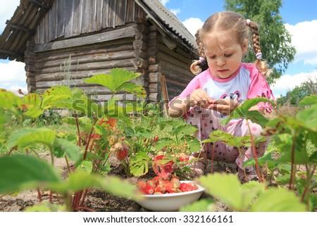 Preschooler blonde girl is gathering home-grown garden strawberries on outdoor garden bed - stock photo