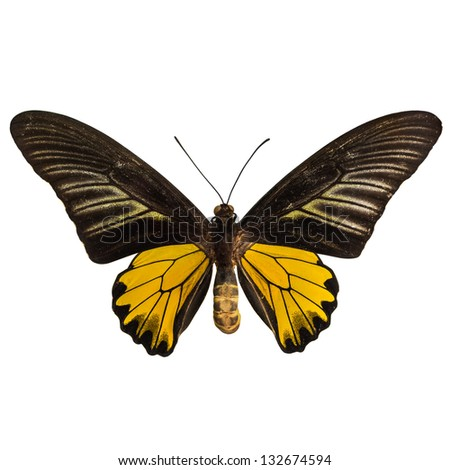 Preserved male golden birdwing (Troides aeacus) butterfly, isolated on white background