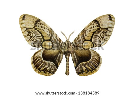 Preserved tiger faced brahm (Brahmaea hearseyi) moth, isolated on white background - stock photo