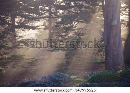 Presidio Park cypress trees, San Francisco - stock photo