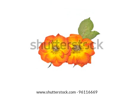 Press rose flower orange color and press green leaf