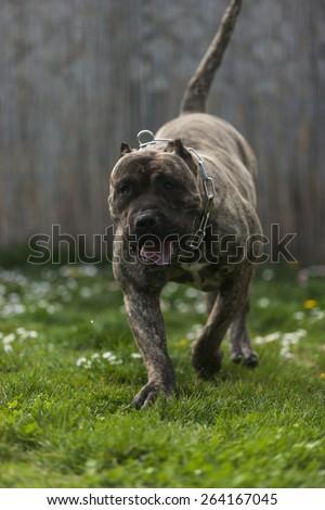 Pressa Canario, dogo Canario, dog,perro de presa canario - stock photo