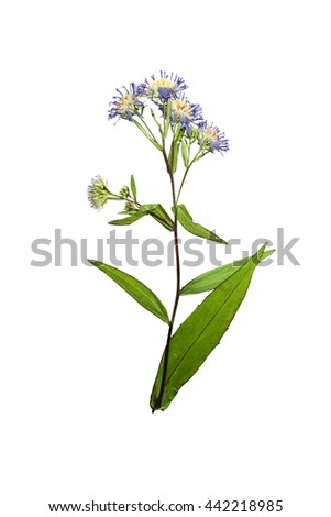 Pressed and dried flower Symphyotrichum novi-belgii (New York aster) on stem with green leaves. Isolated on white background. For use in scrapbooking, floristry (oshibana) or herbarium.