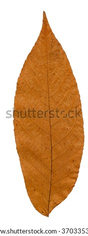 Pressed and dried leaf manchurian walnut isolated on white background.