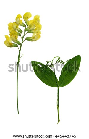 Pressed and dried stalk Lathyrus pratensis with delicate yellow flowers , twig with two leaves. Isolated on white background. For use in scrapbooking, floristry (oshibana) or herbarium. - stock photo