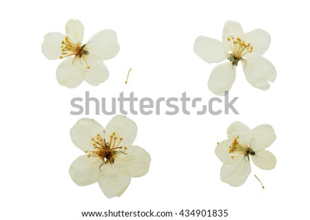 Pressed and dried white delicate transparent flower apple tree. Isolated on white background. For use in scrapbooking, floristry (oshibana) or herbarium. - stock photo