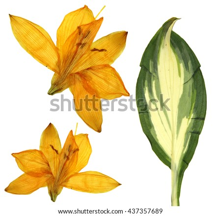 pressed orange Lilly flowers, isolated on white background dry leaf of Hosta Golden Meadows - stock photo