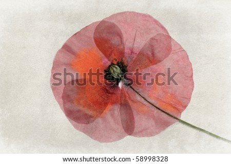 pressed red poppy isolated on vintage background - stock photo