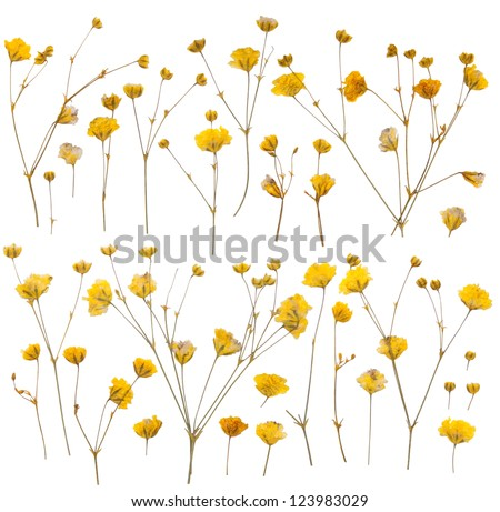 Pressed yellow wildflowers isolated on white background - stock photo