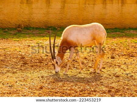 pretty antelope eating - stock photo