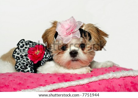 Pretty Baby-A shih tzu puppy dressed in her prettiest clothes, wearing a floral headband, lying on a pink minky pillow. - stock photo
