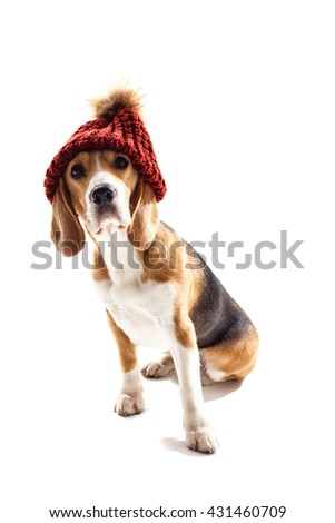 Pretty beagle dog has humorous headwear