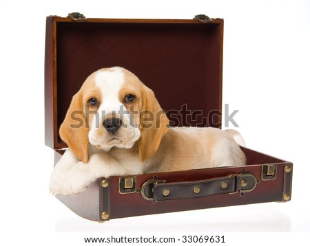 Pretty Beagle puppy lying in brown suitcase, on white background
