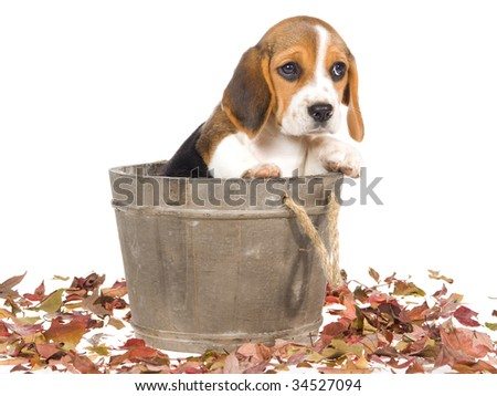 Pretty Beagle puppy sitting inside wooden vat, on white background