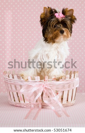 Pretty Biewer puppy inside pink and white basket on pink background - stock photo