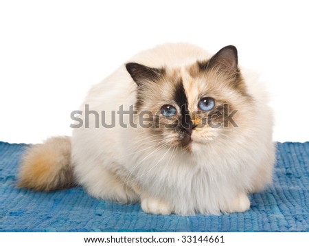 Pretty Birman tortie on blue woven rug, on white background - stock photo