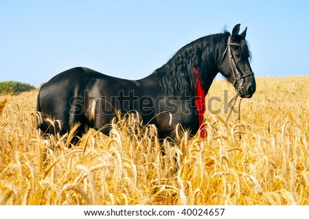 Pretty black horse with red ribbon in mane