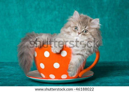 Pretty Blue Chinchilla sitting in oversized cup on green background - stock photo