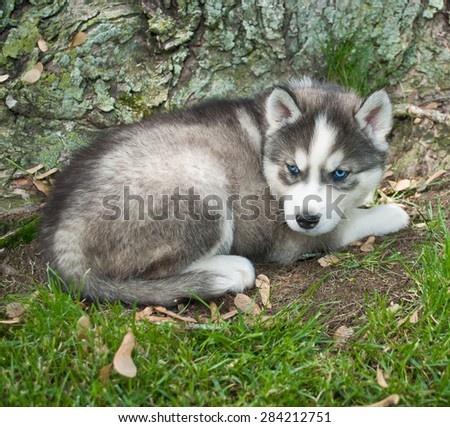 Pretty blue eyed Husky puppy laying in the grass at the base of a tree.