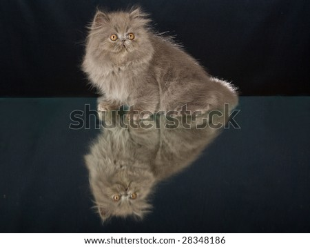 Pretty Blue Persian kitten sitting on mirror with reflection, on black background - stock photo