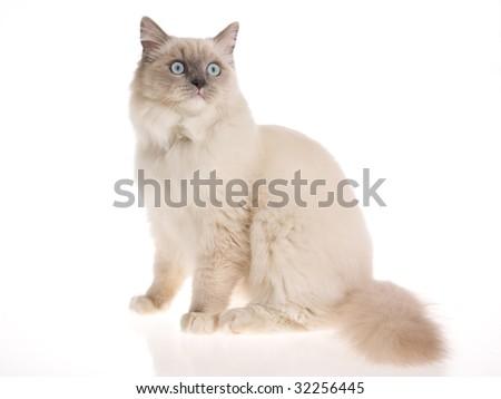 Pretty bluepoint Ragdoll on white background - stock photo